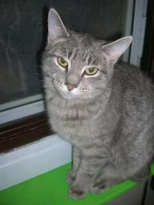 "Young Female Cat - Tabby: ""Sally"""