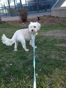 "Young Male Dog - Bichon Frise: ""Leo"""