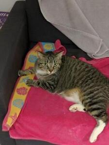 "Adult Female Cat - Domestic Short Hair: ""Sarabi"""
