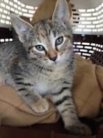 """Young Female Cat - Domestic Short Hair: """"Cloudy"""""""