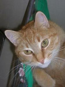 "Adult Female Cat - Tabby: ""Ginger"""
