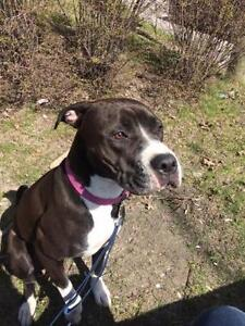 "Young Female Dog - American Staffordshire Terrier-Boxer: ""Sky"""
