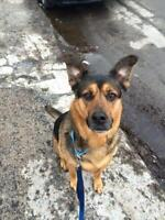 "Adult Male Dog - German Shepherd Dog-Rottweiler: ""Boy"""