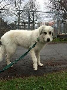 """Young Male Dog - Great Pyrenees: """"Lou"""""""