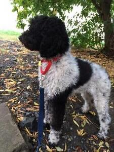 """Young Female Dog - Standard Poodle: """"Molly"""""""