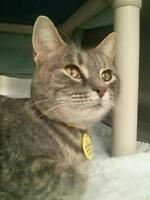 "Young Female Cat - Domestic Short Hair: ""Odiana"""