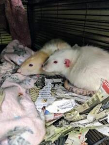 """Young Female Small & Furry - Rat: """"Laurie"""""""