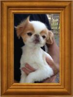 "Adult Male Dog - Japanese Chin: ""Coco"""