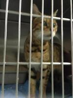 """Young Female Cat - Bengal: """"30246786"""""""