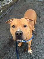 "Baby Male Dog - American Staffordshire Terrier: ""Prince"""