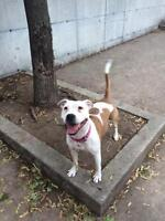"Young Female Dog - American Staffordshire Terrier: ""Daisy"""