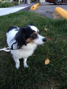 "Adult Male Dog - Papillon-Dachshund: ""Papineau"""