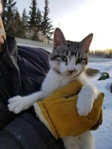 OLAF -  MALE CAT FOR ADOPTION