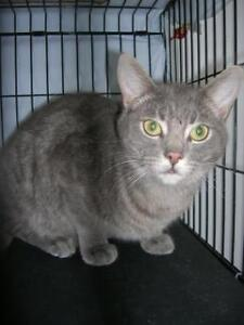 """Adult Male Cat - Tabby: """"Sable"""""""