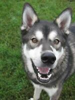 "Adult Male Dog - Husky: ""Thor (Zorro)"""