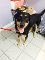 "Young Male Dog - Rottweiler-German Shepherd Dog: ""Violonchelo"""