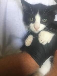 """Baby Male Cat - Domestic Short Hair: """"Buster"""""""