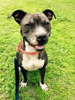 """Young Male Dog - Pit Bull Terrier: """"Goku"""""""