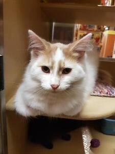 """Young Male Cat - Domestic Long Hair: """"Moo - Bonded with Alvie"""""""