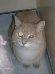 "Adult Male Cat - Tabby: ""Sparky"""