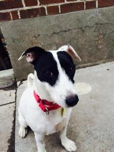 Adult Female  - Jack Russell Terrier (Parson Russell Terrier)