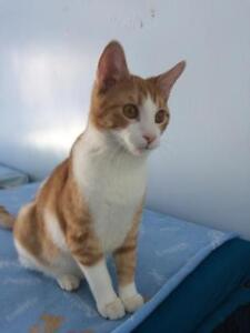 "Young Male Cat - Domestic Short Hair: ""Peter"""