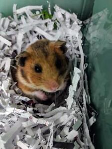 """Young Female Small & Furry - Hamster: """"Lola"""""""