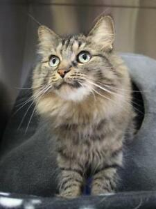 "Adult Female Cat - Domestic Long Hair-Tabby - Brown: ""Sally"""