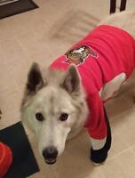 "Adult Male Dog - Husky: ""Shamus"""