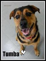 "Young Male Dog - Rottweiler-German Shepherd Dog: ""Tumba"""