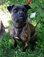 "Young Male Dog - Boxer: ""Bogart"""