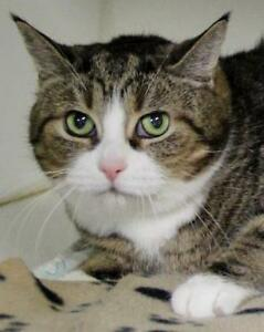 "Senior Female Cat - Domestic Short Hair-Tabby - Brown: ""Molly"""
