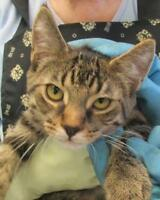 "Young Male Cat - Tabby: ""Morris"""