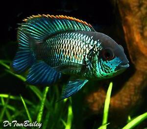 x5 Adult Electric Blue Acara Cichlids for sale Werribee Wyndham Area Preview