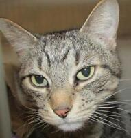 "Adult Male Cat - Tabby: ""Kevin"""