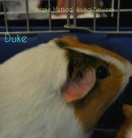 "Young Male Small & Furry - Guinea Pig: ""Duke"""