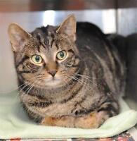"Adult Male Cat - Domestic Short Hair - brown: ""Mr. Darcy"""