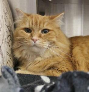 "Senior Male Cat - Domestic Long Hair-Tabby - Orange: ""Dexter"""
