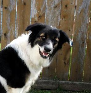"""Young Female Dog - Border Collie: """"Muppet"""""""
