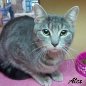 """Young Male Cat - Domestic Short Hair-Tabby - Grey: """"Alex"""""""