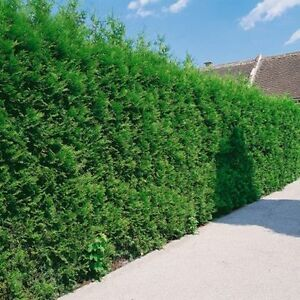 WHITE CEDAR TREES/PRIVACY HEDGE - FALL IS A GREAT TIME TO PLANT! Cambridge Kitchener Area image 5