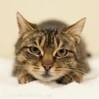 "Adult Female Cat - Domestic Short Hair: ""Miss Mew"""