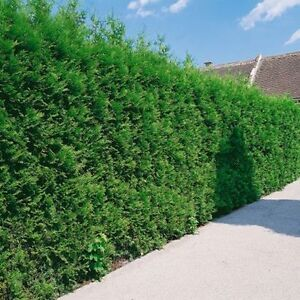 WHITE CEDAR TREES/PRIVACY HEDGE - FALL IS A GREAT TIME TO PLANT! London Ontario image 5