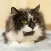 """Adult Female Cat - Domestic Long Hair-black and white: """"Endora"""""""