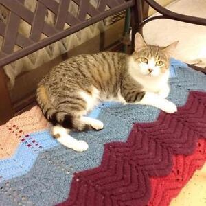 "Adult Female Cat - Domestic Short Hair: ""Hanna"""