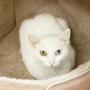 """Adult Female Cat - Domestic Short Hair-white: """"Pink Lady"""""""