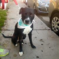 "Adult Male Dog - Pit Bull Terrier: ""Storm"""