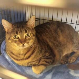 "Adult Male Cat - Tabby: ""Puddy Tat"""