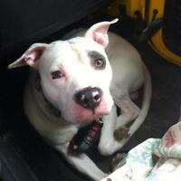 """Adult Male Dog - Pit Bull Terrier: """"Sarge"""""""