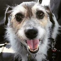 "Senior Male Dog - Jack Russell Terrier: ""Magic"""